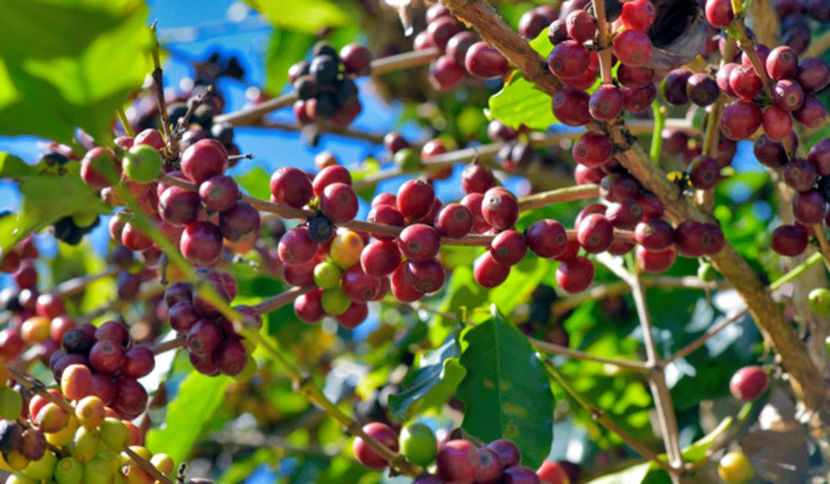 Bei welchem Klima fühlt sich die Kaffeepflanze wohl